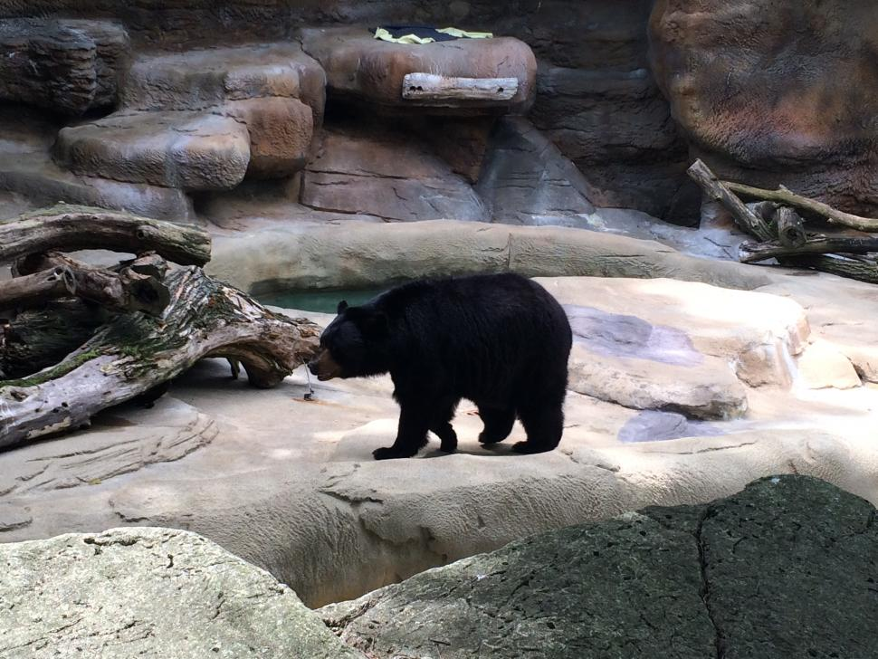 Bear at the Cincinnati Zoo (photo: Shannan Boyer)