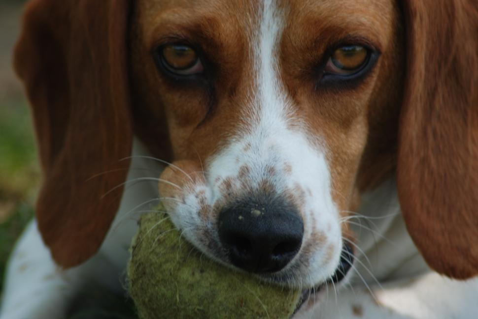 A Beagle with a ball in Otto Armleder Memorial Park