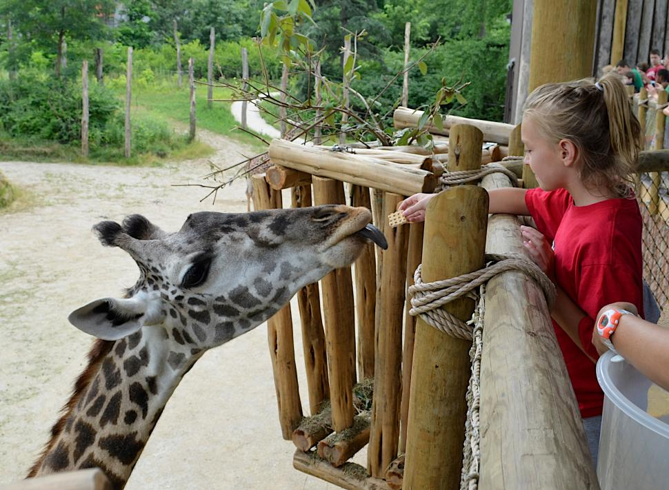Feeding a giraffe at Cincinnati Zoo & Botanical Garden (photo: Michelle Curley)