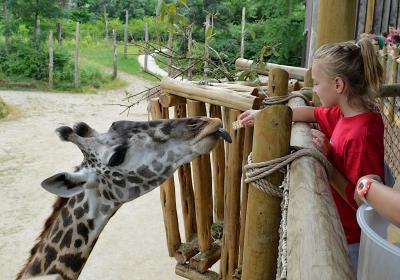 Feeding a giraffe at Cincinnati Zoo & Botanical Garden