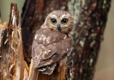 Northern Saw Whet Owl Banding Station