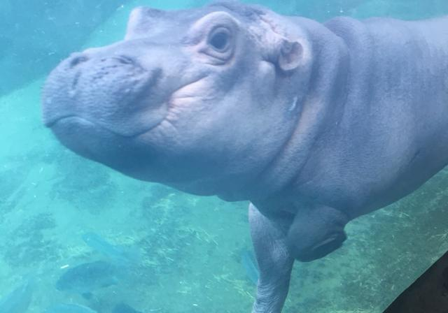 Fiona the hippo at Cincinnati Zoo (photo: Betsy Decillis)