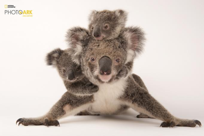 A federally threatened koala, Phascolarctos cinereus, with her babies at the Australia Zoo Wildlife Hospital. Part of National Geographic Photo Ark, natgeophotoark.org © Photo by Joel Sartore/National Geographic Photo Ark